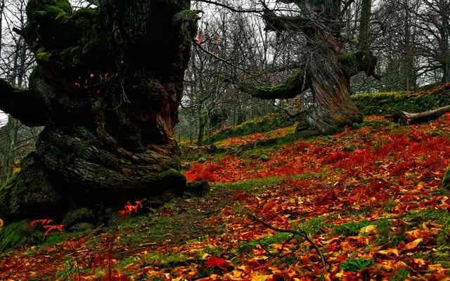 castaños del temblar,otoño mágico valle del ambroz