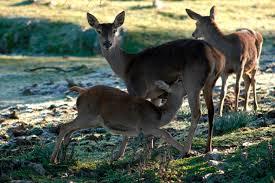 La berrea del Ciervo en Monfragüe y Granadilla